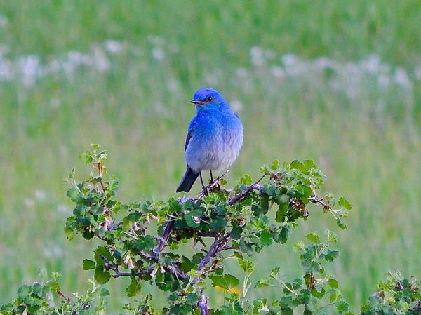 Photograph - Mountain Bluebird by Dan Miller