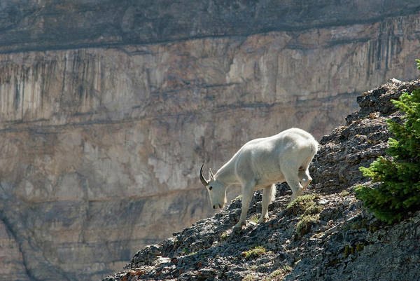 Mountain Goat Photograph - Mountain Goat, Oreamnos Americanus by Howie Garber