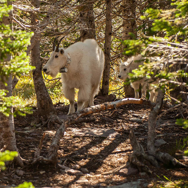 Photograph - Mountain Goats by Brenda Jacobs
