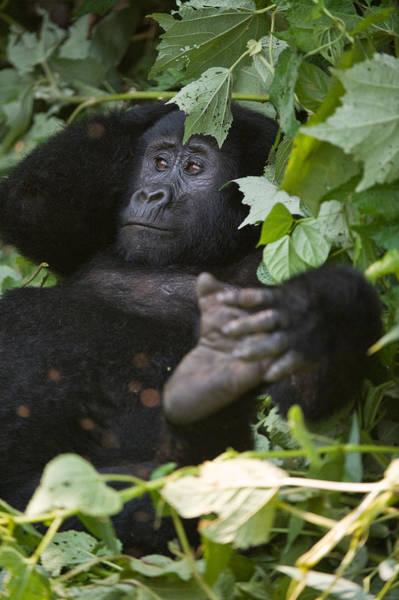 Leaf Monkey Wall Art - Photograph - Mountain Gorilla Gorilla Beringei by Panoramic Images