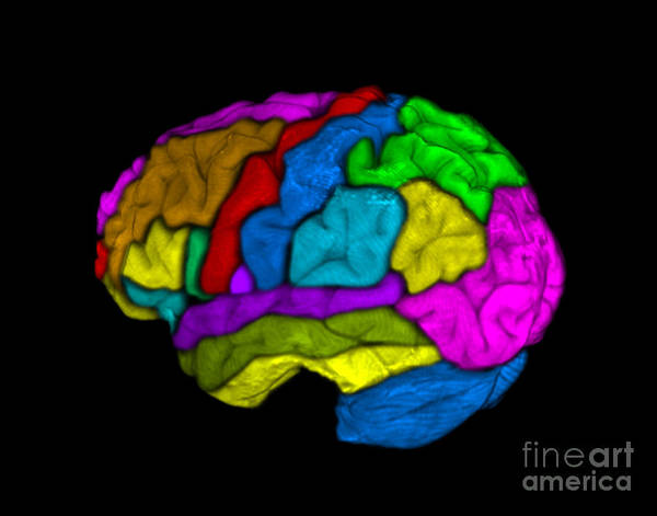 Colorization Photograph - Mri Of Normal Brain by Living Art Enterprises