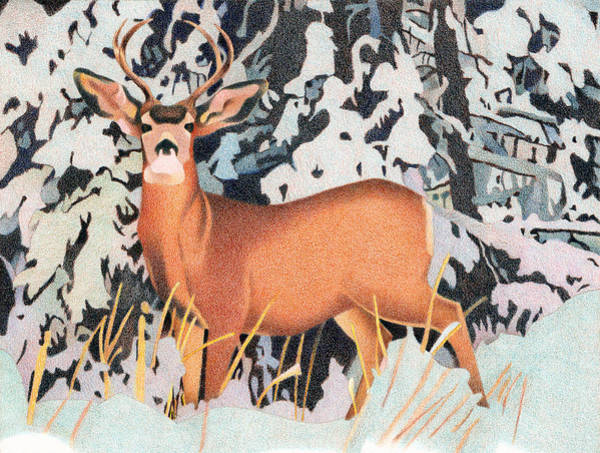 Evergreen Trees Drawing - Mule Deer by Dan Miller