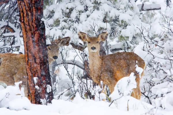 Photograph - Mule Deer In A Snowstorm by Steve Krull