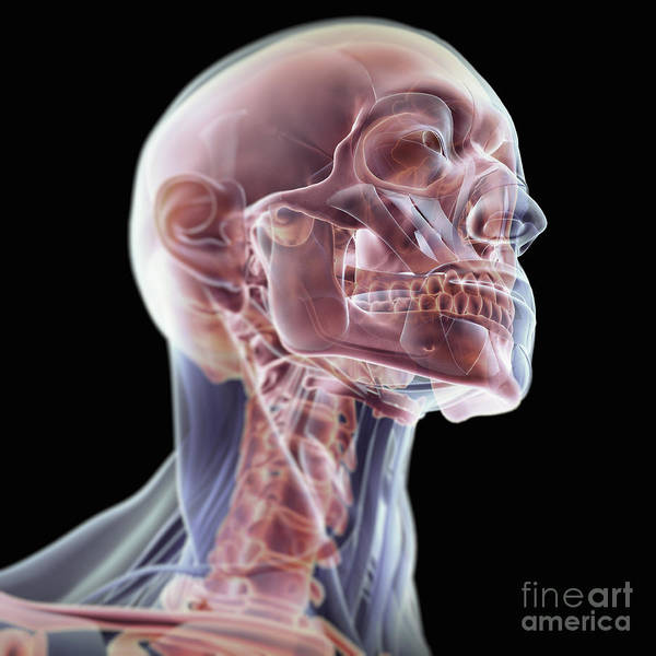Photograph - Muscles Of The Head And Neck by Science Picture Co