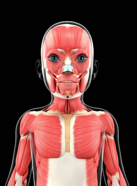Nasalis Photograph - Muscular System by Pixologicstudio