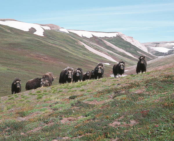 Tundra Wall Art - Photograph - Musk Oxen by Simon Fraser/science Photo Library