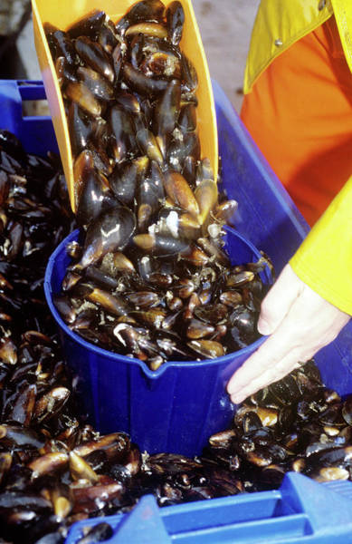 Bucket Photograph - Mussel Farming by Louise Murray/science Photo Library