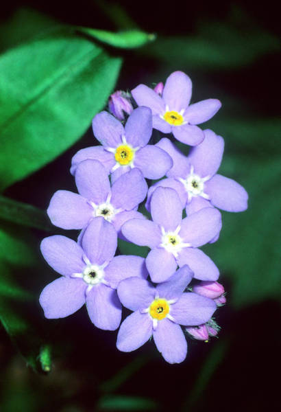 Forget Me Not Photograph - Myosotis Decumbens Florentina by Bruno Petriglia/science Photo Library