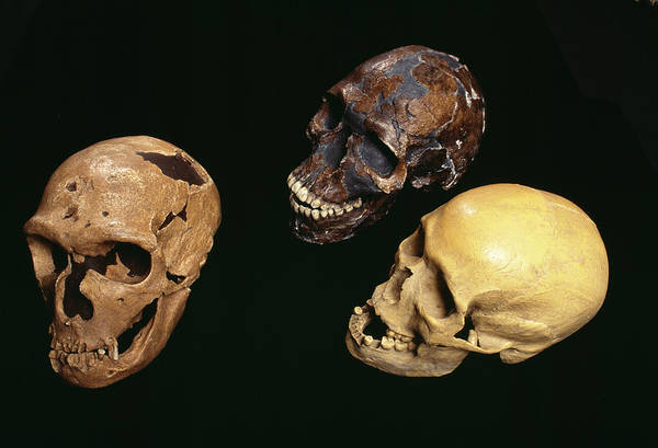 Homo Sapiens Photograph - Neanderthal And Modern Human Skulls by Pascal Goetgheluck/science Photo Library