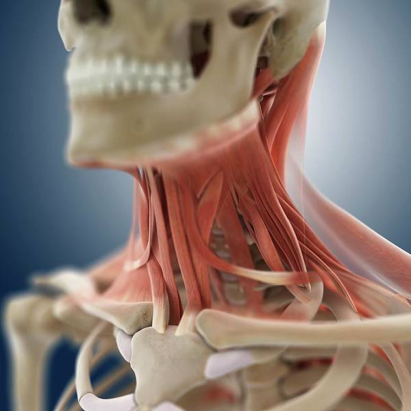 Back Bone Wall Art - Photograph - Neck Muscles by Springer Medizin/science Photo Library