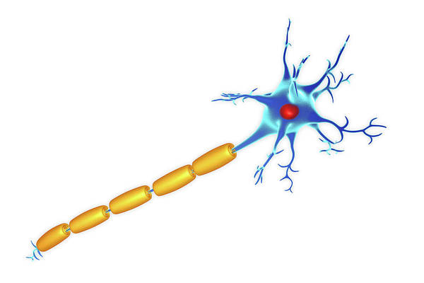Myelin Wall Art - Photograph - Nerve Cell by Roger Harris/science Photo Library