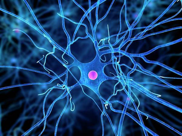Dendrite Wall Art - Photograph - Nerve Cell by Sciepro