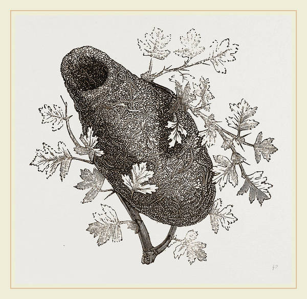 Titmouse Drawing - Nest Of Long Tailed Titmouse by Litz Collection
