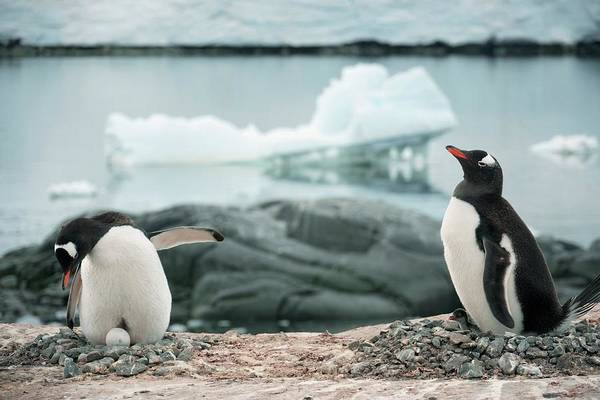 Gentoo Wall Art - Photograph - Nesting Gentoo Penguins by Peter Menzel/science Photo Library