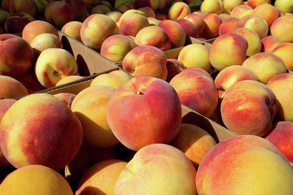 Persica Wall Art - Photograph - Newly Harvested Peaches On A Farm by David R. Frazier