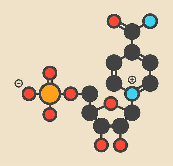Wall Art - Photograph - Nicotinamide Mononucleotide Molecule by Molekuul/science Photo Library