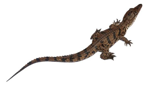 Wall Art - Photograph - Nile Crocodile Hatchling by Pascal Goetgheluck/science Photo Library
