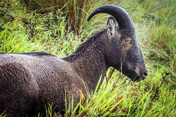 Ibex Wall Art - Photograph - Nilgiri Tahr by Paul Williams