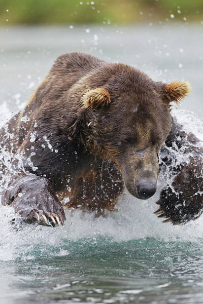 Grizzly Bears Photograph - North America, Usa, Alaska, Geographic by Joe and Mary Ann Mcdonald