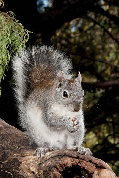 Squirrel Photograph - North America, Usa, Arizona, Sw by Joe and Mary Ann Mcdonald