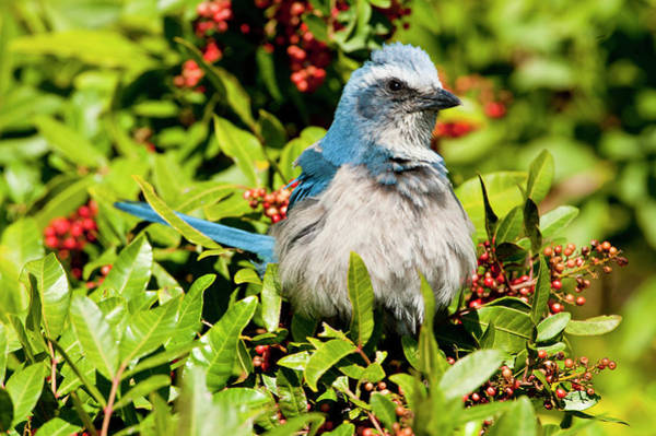 Scrub Jay Photograph - North America, Usa, Florida, Cape by Bernard Friel