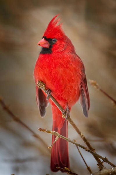 Wall Art - Photograph - Northern Cardinal by Bill Wakeley