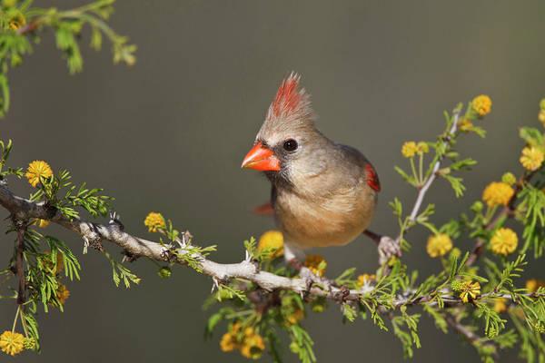 Female Cardinal Photograph - Northern Cardinal (cardinalis Cardinalis by Larry Ditto