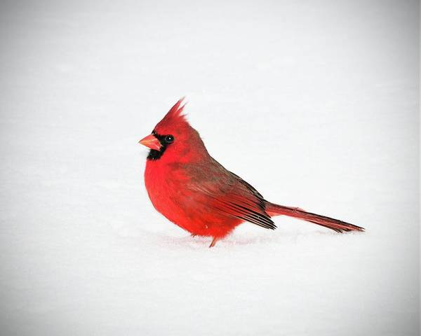 Wall Art - Photograph - Northern Cardinal In Snow by Betty LaRue