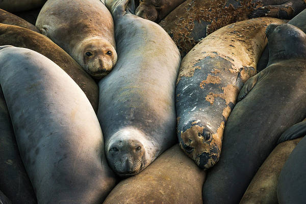 Monterey Bay Photograph - Northern Elephant Seals At Piedras by Russ Bishop