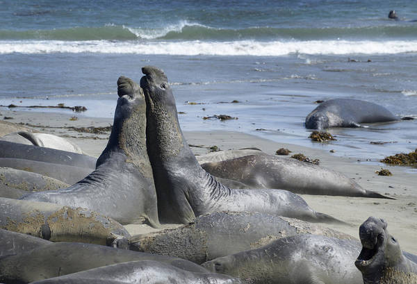 Wall Art - Photograph - Northern Elephant Seals by Martin Shields