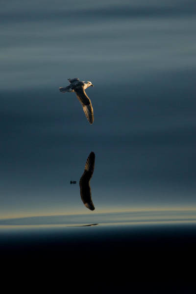 Wall Art - Photograph - Northern Fulmar Fulmaris Glacialis by Andrew Peacock