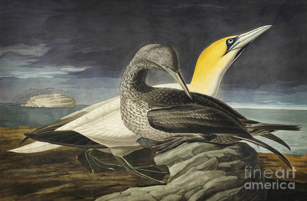 Drawing - Northern Gannet by Celestial Images