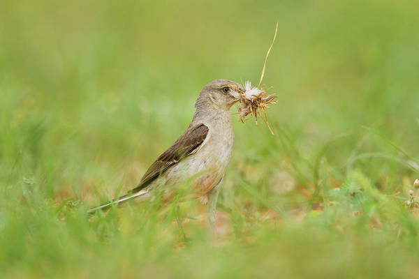 Hidalgo Photograph - Northern Mockingbird (mimus Polyglottos by Larry Ditto