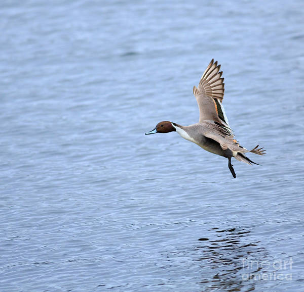 Wall Art - Photograph - Northern Pintail Duck by Louise Heusinkveld