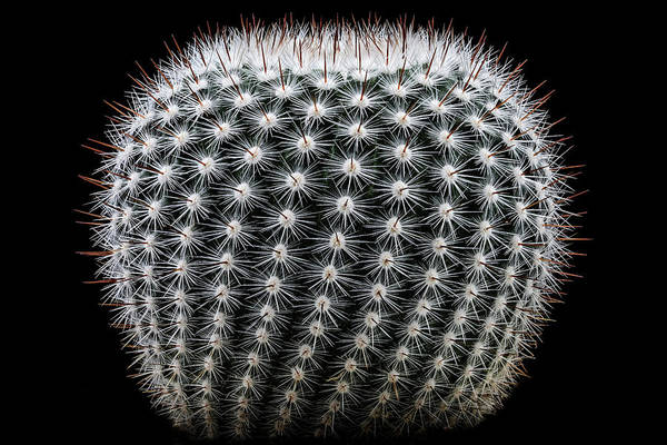 Wall Art - Photograph - Notocactus Scopa by Victor Mozqueda