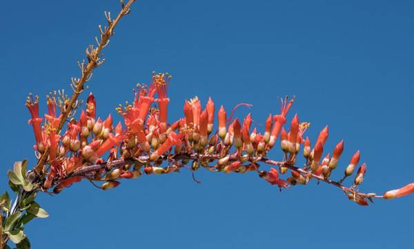 Sonoran Desert Photograph - Ocotillo (fouquieria Splendens) In Flower by Bob Gibbons/science Photo Library