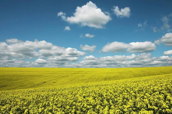Wall Art - Photograph - Oil Seed Rape Field by Jeremy Walker/science Photo Library