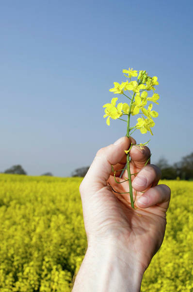 Wall Art - Photograph - Oilseed Rape by Jim Varney/science Photo Library