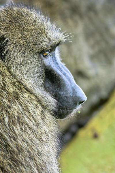 Baboons Photograph - Olive Baboon Papio Anubis by Photostock-israel
