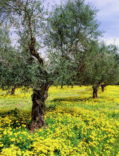 Peloponnese Photograph - Olive Grove by Bob Gibbons/science Photo Library