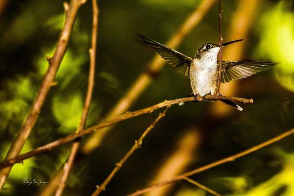 Photograph - Hummingbird - Perched - On A Limb by Barry Jones