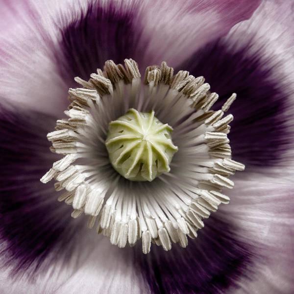 Florist Wall Art - Photograph - Opium Poppy by Carol Leigh