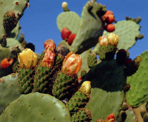 Opuntia Photograph - Opuntia Ficus-indica by David Henderson/science Photo Library