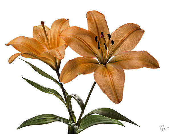Photograph - Orange Asiatic Lilies by Endre Balogh
