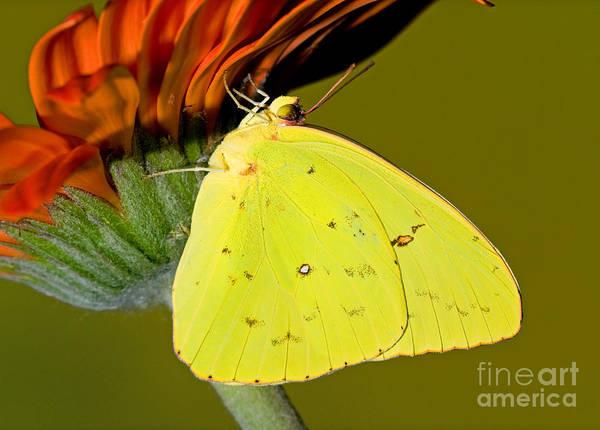 Sulfur Butterfly Wall Art - Photograph - Orange Barred Sulfur Butterfly by Millard H. Sharp