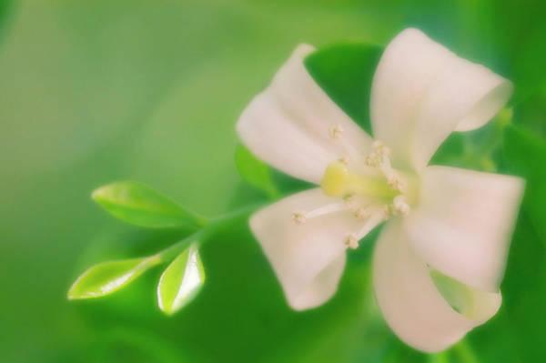 Fragrant Photograph - Orange Jessamine (murraya Paniculata) by Maria Mosolova/science Photo Library