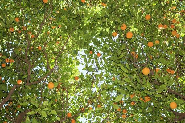 Peloponnese Photograph - Orange Tree by David Parker/science Photo Library