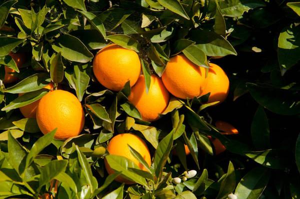 Ventura Photograph - Oranges On A Tree, Santa Paula, Ventura by Panoramic Images
