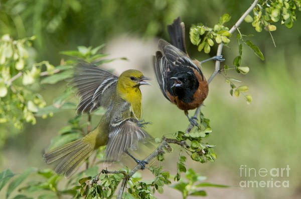 Squawk Photograph - Orchard Orioles by Anthony Mercieca