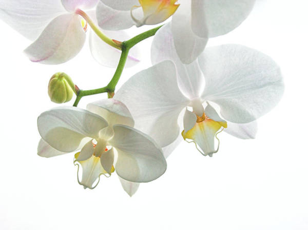 Wall Art - Photograph - Orchid Flowers by Tony Craddock/science Photo Library